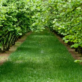 Измаильские садоводы выращивают фундук из пробирки