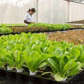 Зелень в теплицах выгодно выращивать по методу аквапоніки
