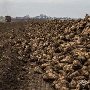 Названы причины снижения урожая сахарной свеклы в Украине