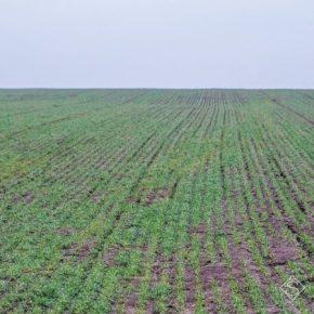 Из-за недостатка влаги озимые отстают в вегетации на 1-2 недели