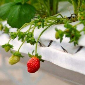 Польские производители увеличивают урожайность ягод благодаря тоннелям