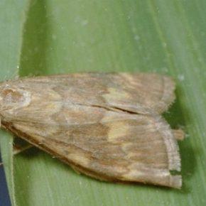 Изменения климата влияют на распространение стеблевой бабочки — эксперт