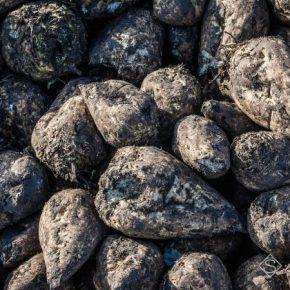 Из-за неурожая свеклы Винниччина сократила производство сахара