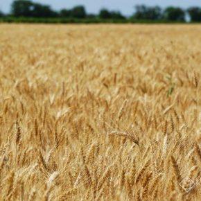 Английские ученые нашли альтернативу органическому удобрению зерновых