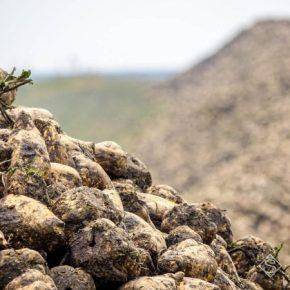 За последние 4 сезона валовое производство сахарной свеклы снизилось практически вдвое