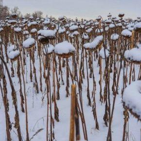 Из-за снегопадов подсолнечник на севере США останется зимовать в полях