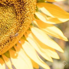 Урожай подсолнечника в Украине достиг рекордного уровня — USDA