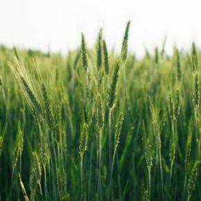 Опасный сорняк угрожает продовольственной безопасности Великобритании