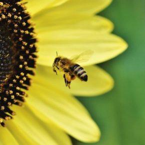 Через риски для пчел Франция запретила два пестициды