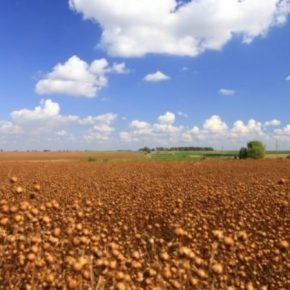 В Сварог Вест Групп поделились опытом выращивания органического льна