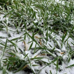 Озимые на полях находятся в состоянии неглубокого зимнего покоя или медленно вегетируют