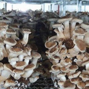 Отечественная ферма по выращиванию грибов шиитаке расширяет производственные площади