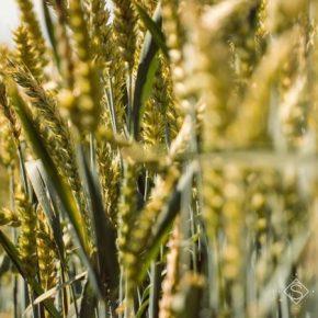 Определены ключевые факторы влияния влажности воздуха на выращивание сельскохозяйственных культур