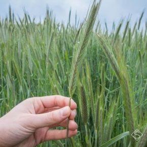 Урожайность гибридного ржи более чем вдвое превышает показатель обычного — эксперт