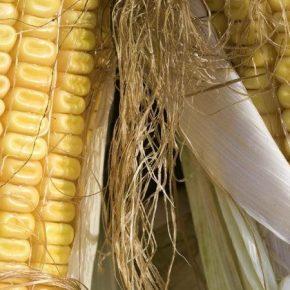 Разработан инновационный метод прогнозирования урожайности сельхозкультур