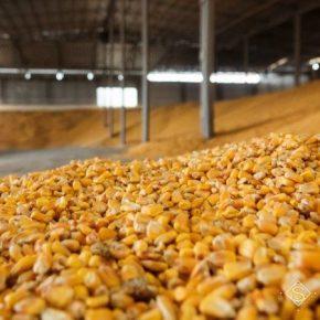 В портах выросли закупочные цены на кукурузу