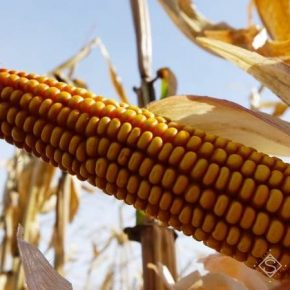 Используя Вітазим немецкий фермер получил на 10% более высокую урожайность кукурузы