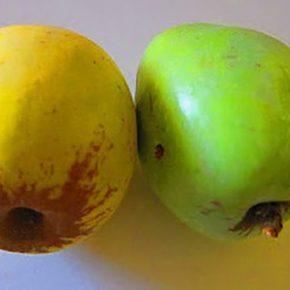 Старые сорта фруктов снова становятся выгодными для производства — испанский эксперт