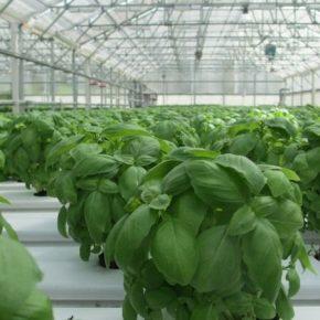 Аграриям рассказали об особенностях выращивания базилика