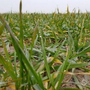 Снижение температуры грозит озимым на Кировоградщине