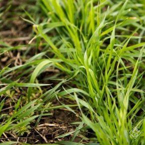 На полях наблюдается прекращение ростовых процессов озимых культур