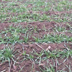 В Крыму всходы озимых зерновых получены на 95% посевных площадей