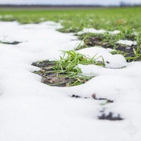 Отсутствие морозов благоприятно сказывается на посевах озимых зерновых — Укргидрометцентр
