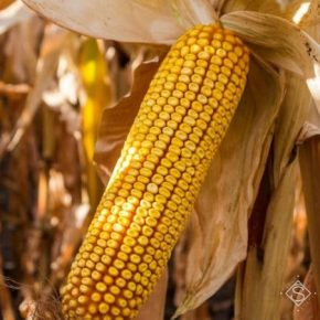 В Агрейн подвели итоги года по урожайности гибридов кукурузы и подсолнечника