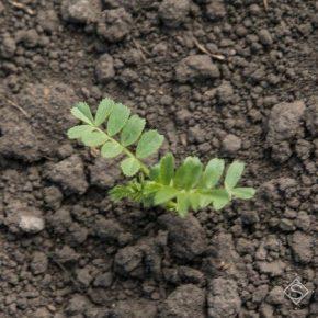 Ученые работают над разгадкой механизма накопления растениями азота из воздуха