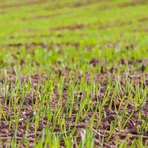 Фитосанитарная экспертиза озимых позволит избежать нежелательных потерь урожая — эксперт