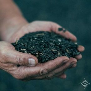 Урожай масличных культур на Сумщине достиг исторического максимума