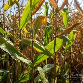 На Черниговщине отрмують 12т/га кукурузы на песчаных почвах