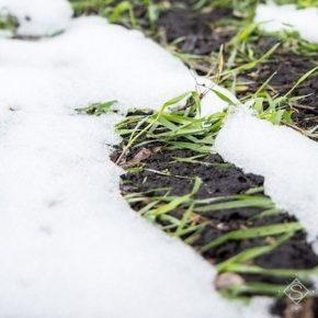 Выпадение снега грозит дальнейшим увеличением вредоносности грызунов