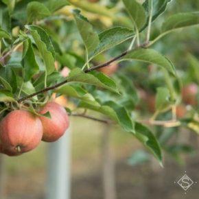 Украина вошла в тройку мировых лидеров по производству яблок и черешни