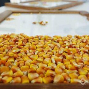 Украина нарастила объемы экспорта семян основных сельхозкультур