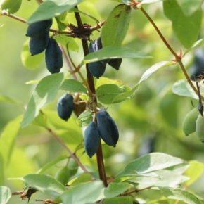 Качественное опыление является залогом высокого урожая жимолости
