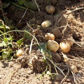 Аграриям рассказали, когда в этом году ожидать первых урожаев раннего картофеля