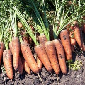 На Херсонщине экспериментируют с выращиванием морозостойкой моркови