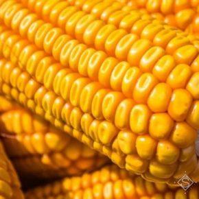 За прошедшие два сезона урожайность кукурузы в Украине достигла рекордных показателей