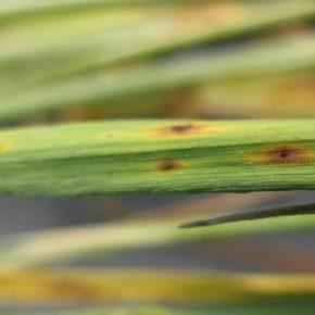 Ученые создали тест для преждевременного выявления септориоза зерновых