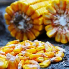 Со столетних зерен ученые планируют вывести новый сорт кукурузы