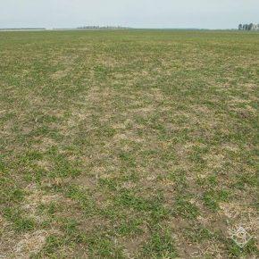 Польские аграрии обеспокоены распространением болезней на посевах озимых и дефицитом влаги