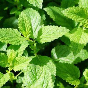 На Прикарпатье создадут кластер по выращиванию лекарственных растений