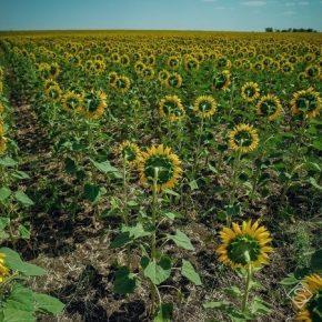 Большинство подсолнечника в Украине выращивается с нарушением севооборота