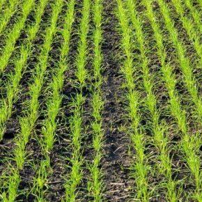 Специалисты рассказали о защите озимых весной от сорняков