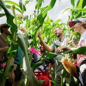 Ученые адаптируют тропические сорта кукурузы для выращивания в условиях изменения климата