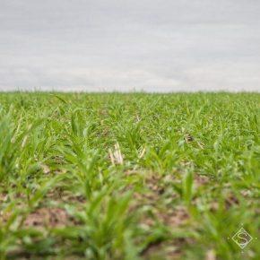 Озимые культуры на полях находятся в хорошем и удовлетворительном состоянии