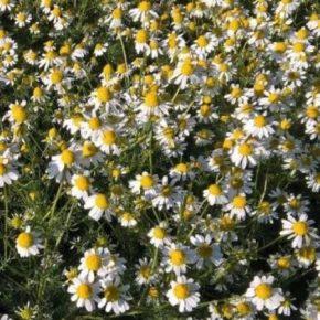 Прибыль с гектара лекарственных растений может превышать 50 тыс. грн — эксперт