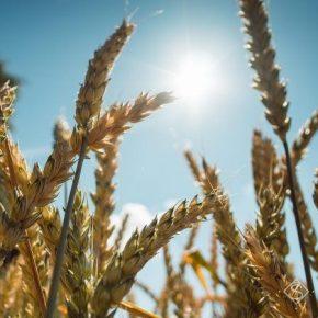 По дальнейшему дефициту влаги аграрии рискуют потерять часть урожая озимых и яровых культур