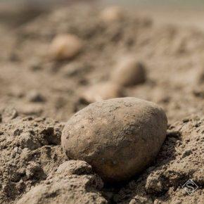 В Госстате рассказали о прошлогодние потери отечественных картофелеводов